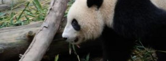 Panda zbawia świat