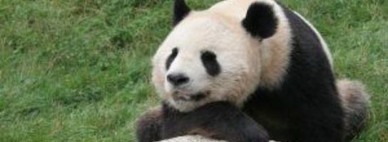 Wojowniczy miś panda