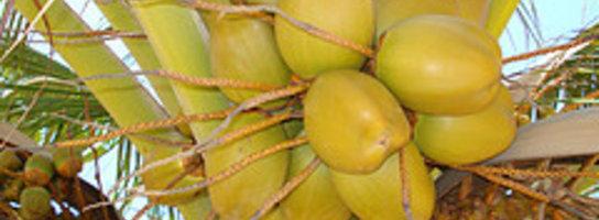 Woda kokosowa podbija świat
